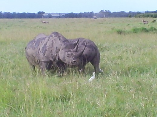 Maasai mara Rhino at a close proximity
