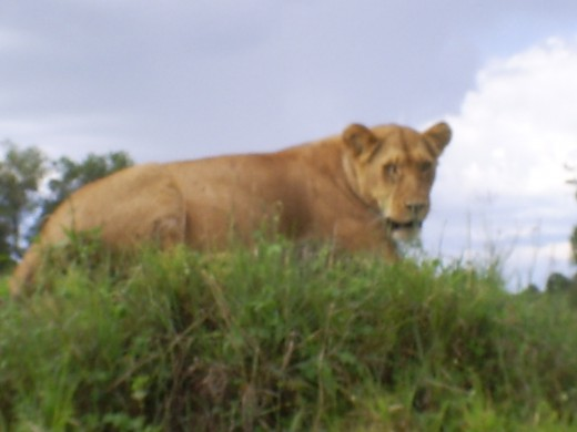 Maasai mara lion at a close proximity