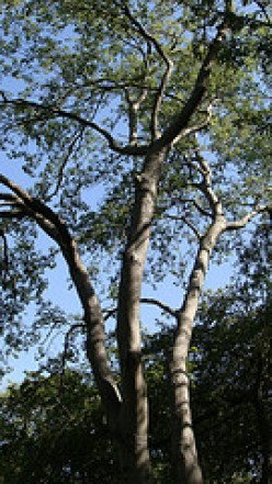 Hackberry Tree Facts
