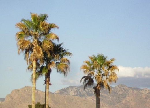 Palm trees in Arizona Desert with mountains in background.