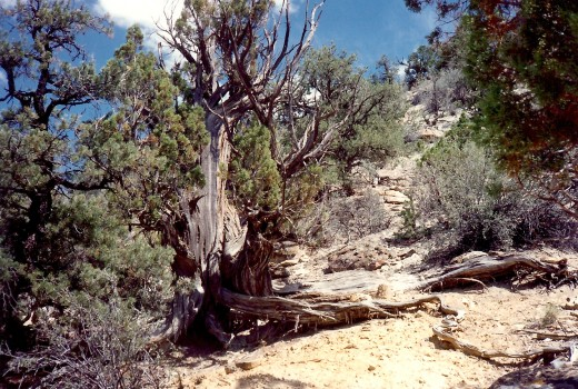 Old trees cling to life up on the ridge