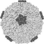Rhinovirus