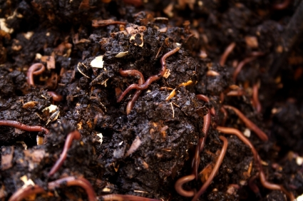 Vermiculture with Red Wiggler Worms