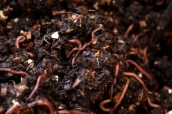 Vermiculture: Red Wiggler Composting Worms on Indoor and Outdoor Worm Composting Bins