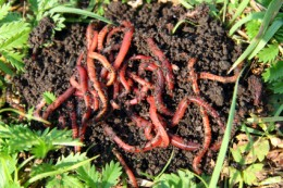 Worm Composting and Soil Fertility