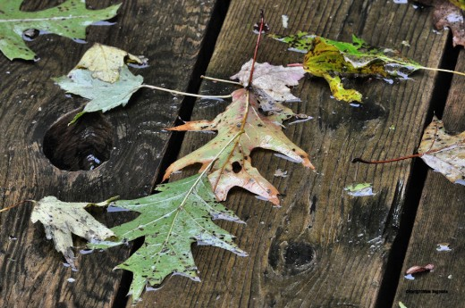 Oak leaves are cemented to the deck by rain water.