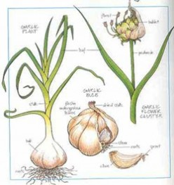 Three Ways That I Have Used Garlic As a Natural Cure