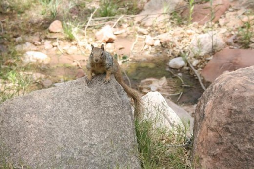 Any ranger will tell you, that the squirrel is the most dangerous animal in the Grand Canyon National Park