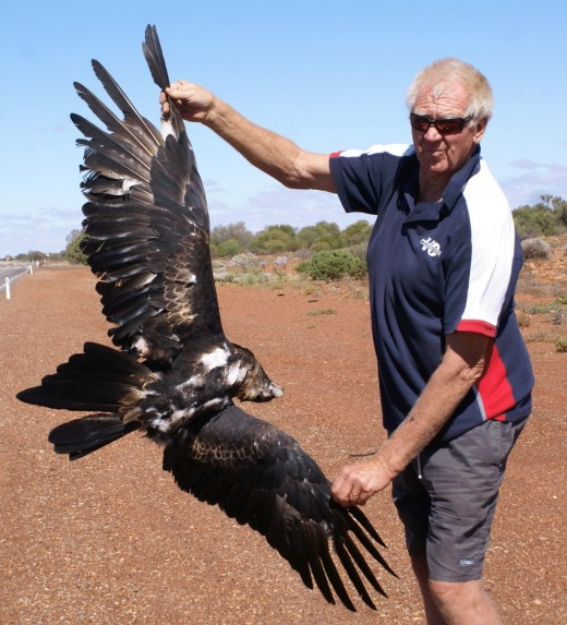 wings spread on dead eagle to give an idea on just how big they are