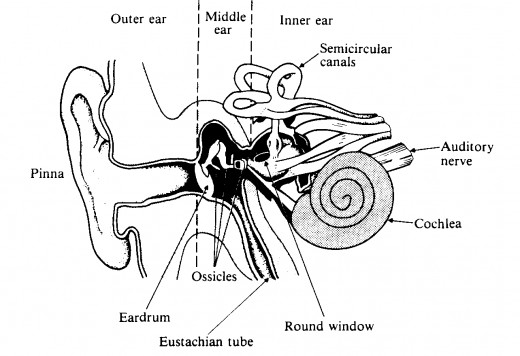Diagram of the human ear