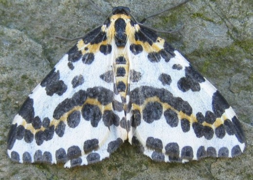 Magpie Moth (Abraxas grossulariata)