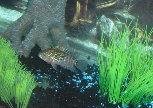 My own juvenile male Jack Dempsey