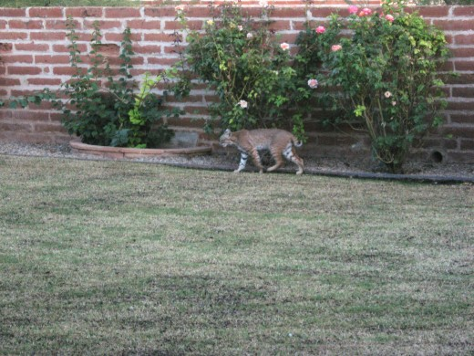 Bobcat walking around the yard in Tucson, Arizona.