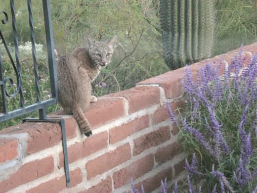 Bobcat obligingly posing for camera.