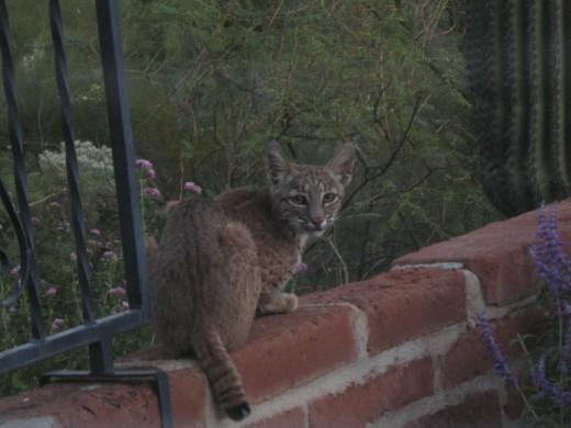 Bobcat Sitting on wall.