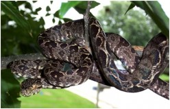 Care Sheet for Amazon Tree Boas (Corallus hortulanus)