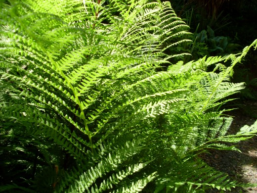 Volunteer fern in my garden , seven feet tall bracken fern