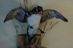 How to Mount Ducks and Make Money with Taxidermy