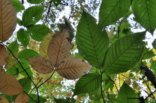 Beech leaves, from below, show different colors as the change begins.