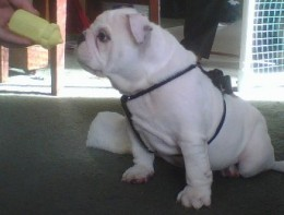 English Bulldog Puppy - Sargent Pepper