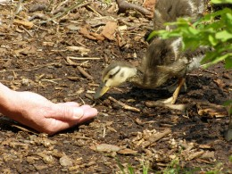 One brave little duckling being hand fed, a commom sight Photo by C.Borthwick all rights reserved