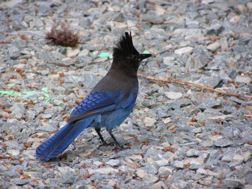 A Stellar Jay looking for a handout Photo by C.Borthwick all rights reserved