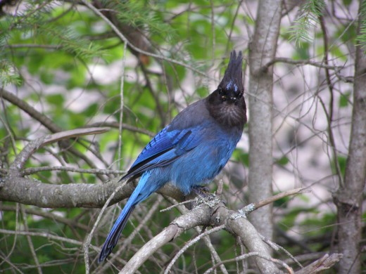Brilliantly coloured Stellar Jays are seen frequently along the trails Photo by C.Borthwick all rights reserved