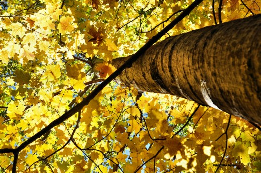 The light filtered by the maple's leaves tint the trunk of a poplar yellow.