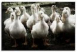 pateros duck luisanto flickr.com