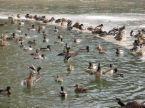peking ducks yiyi clara flickr.com