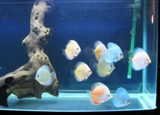 9 Juvenile Discus from Inland Empire Discus