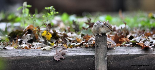 The chipmunk climbs a piece of wood, striking one of many poses.