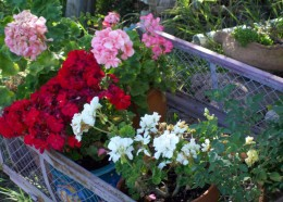 Bringing a wagon of young geraniums out