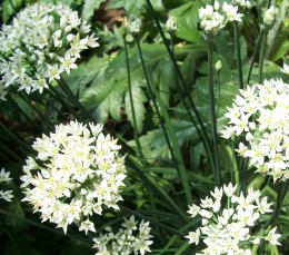 Garlic Chives flowering seed heads