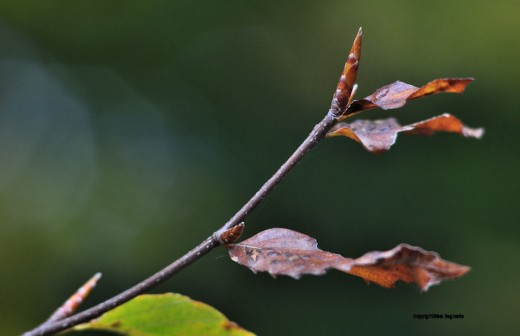 The beech branch has formed its bud ready for spring.