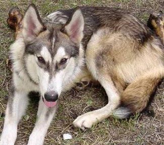 The Difference Between A Wolf Hybrid And Dog