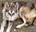 The Difference Between a Wolf/Hybrid and a Dog
