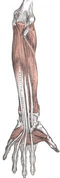forearm muscles - interior