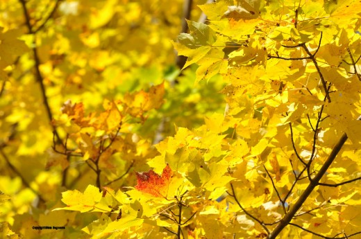 In a maple bright with yellow leaves, one is tinged in red.