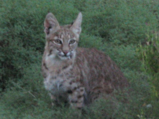 Bobcat beginning its nightly prowl for food