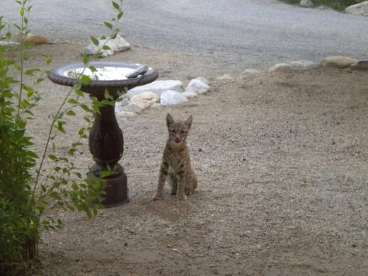 Bobcat next to backyard bird bath