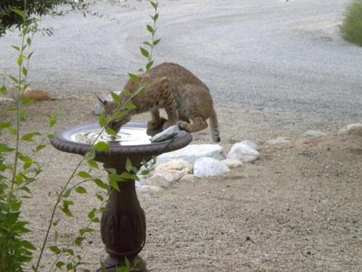 Bobcat enjoying a cool drink in the Tucson desert.