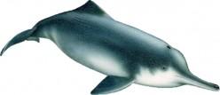 Chinese River Dolphin (Baiji)