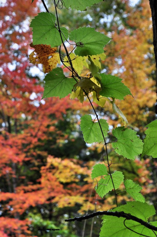 A vine mostly maintains its greenness as fall colors peak here.
