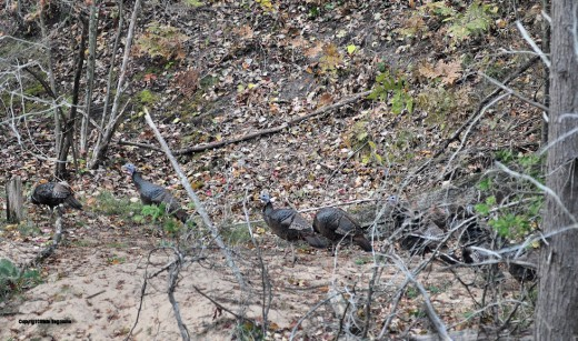 A flock of turkeys trot along the north side of the creek west of The Big Ugly today.