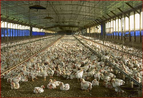 """Chickens in Open Air Pens eating all day to weak to stand, sitting in their own Feces - this is actually one of the """"better"""" pens as it's open air."""