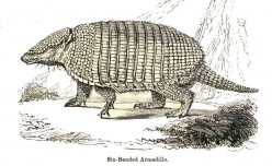 Six-Banned Armadillo.
