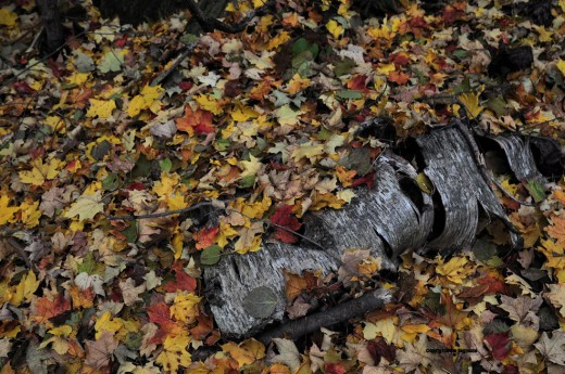 The birch log remnant emerges from a hillside full of leaves.