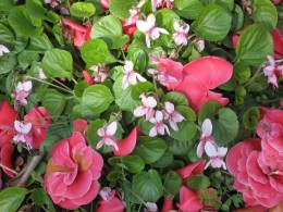 Pink violets at the foot of our camelia bush: watch out, they spread!