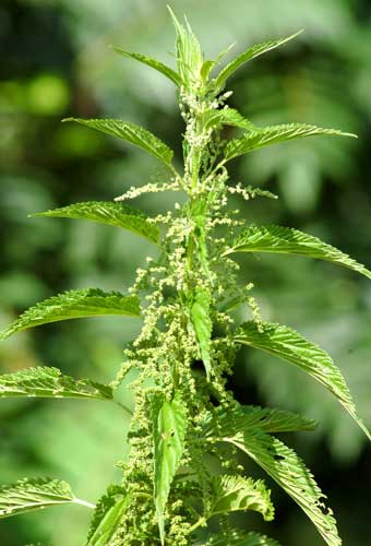 NETTLE IN FLOWER